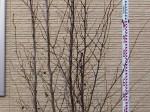 ナツツバキ(株) 樹形