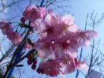 陽光桜 花 アップ