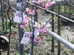 陽光桜 樹形