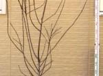 アーモンド 樹形