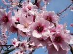 アーモンド 花(別写真)