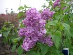 ライラック 紫 開花