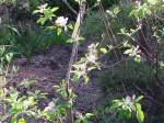 リンゴ 津軽 樹形