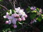 リンゴ 津軽 花