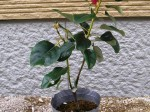 ロドレイア 樹形