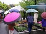 25日(土) 雨振り 傘の花が咲いています。
