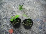 ニオイバンマツリ 苗