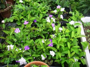 ニオイバンマツリ 苗 花