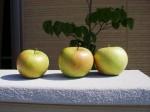 リンゴ収穫しました。