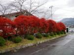 ドウダンツツジ 紅葉