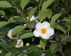 ナツツバキ 花