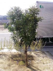 シマトネリコ 流行の樹木です。