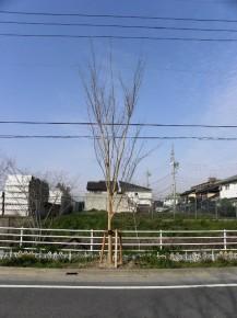 ケヤキ 樹高6.0 幹周0.3  三脚鳥居支柱