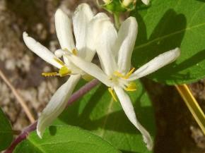 ヒョウタンボク 白花