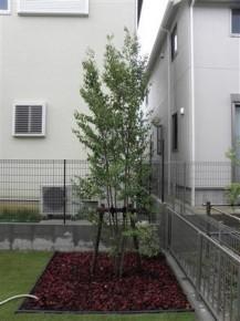エゴノキ(株立)植栽