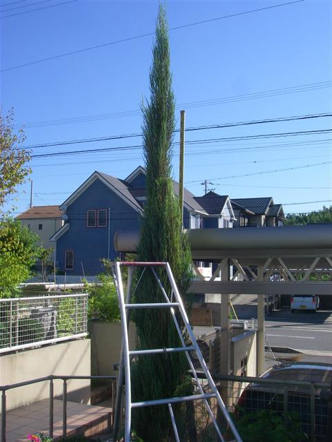 ガーデニング・庭作り・芝生・樹木・砂利販売なら庭園アドバイザーの当社へ│名古屋・知多・半田│ » スカイロケットを剪定しました。