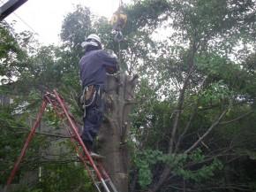 幹にワイヤーを掛け伐採準備です。