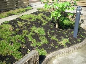 シバザクラ 植栽完了