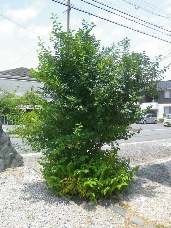 エゴノキの画像 p1_18