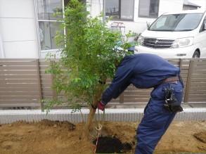 シマトネリコ 株立 H1.5mを植栽しています。