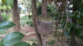 高取り木 キンギョバツバキの苗です。