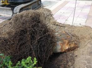 ヤシの木 根です。